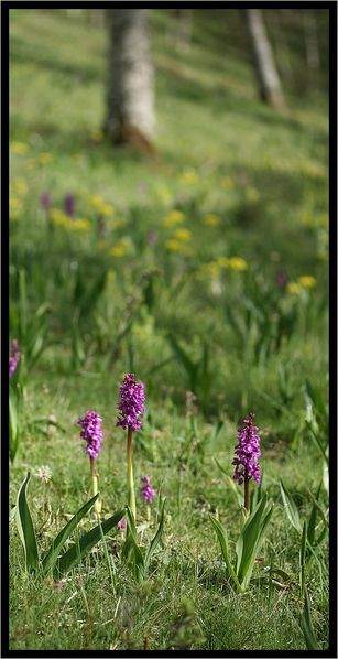 orchis-males-318.jpg