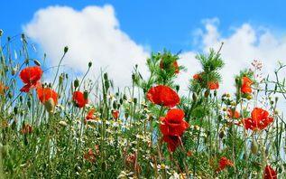 field-of-poppies-hd-wallpaper- 13.5CM