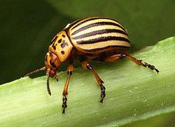 Fichier-Colorado potato beetle