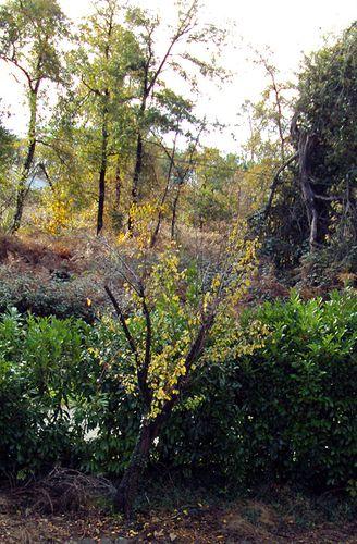 prunier en automne
