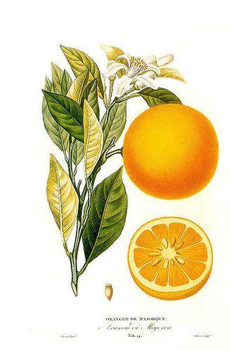 Orange-Histoire et culture des orangers A Risso et A Poit