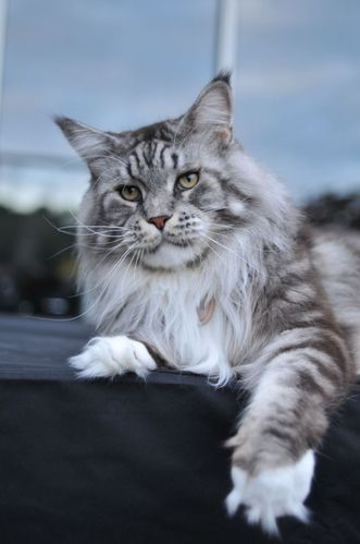 dix questions chamane maine coon and friends. Black Bedroom Furniture Sets. Home Design Ideas