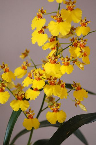 oncidium-copie-1.jpg