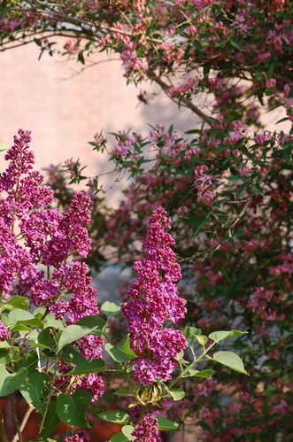lilas-copie-1