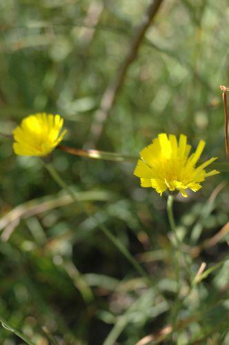 eperviere-des-alpes1.JPG