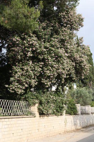 Lagunaria patersonii (2)