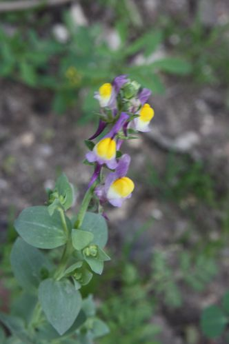 Linaria-triphylla-Tunis-qu.-Notre-Dame--19-3-2014-C.JPG