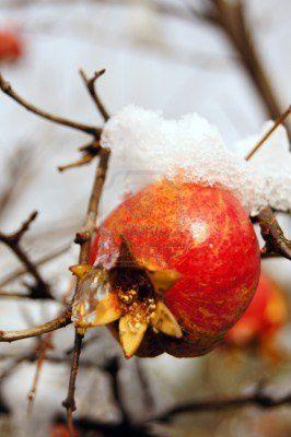 11699071-murs-fruits-colores-grenade-sur-branche-d-39-arbre