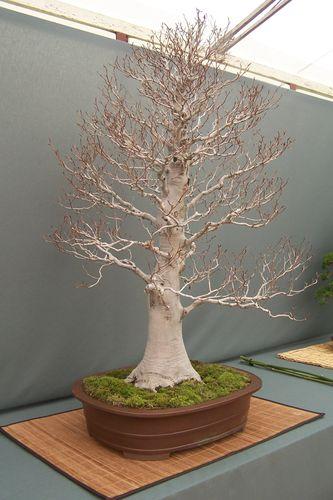 expo bonsai jardin du levant 005