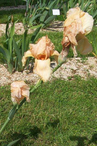 iris de brocèliande (21)