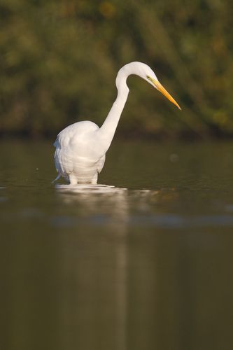 Grand aigrette, octobre 2011 mail-2060