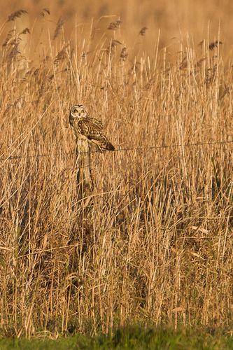 Hiboux des marais, uitkerque, decembre 2011, mail-4700