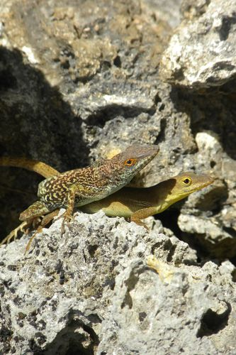 Accouplement-Anolis-marmoratus-copie-1