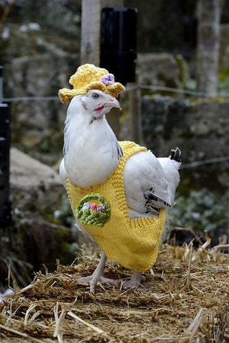 chicken_yellow_coat_medium2.jpg