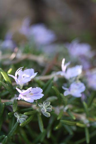 Romarin-en-fleurs--1-.jpg
