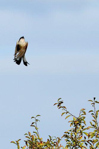oiseaux 7001r
