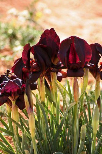 iris noir-07