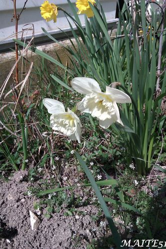 Narcisses-Blanches-14-04-2013.jpg
