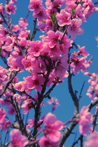 fleurs-de-pecher.jpg