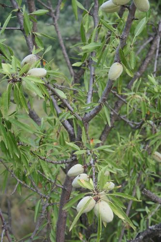05C Prunus amygdalus 10083 redimensionner