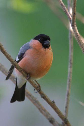 oiseaux1492
