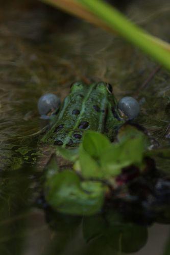 grenouille 9479