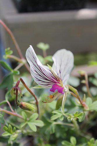 pelargonium-praemorsum-1.jpg