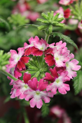 verbena-x-lanai-twister-red.jpg