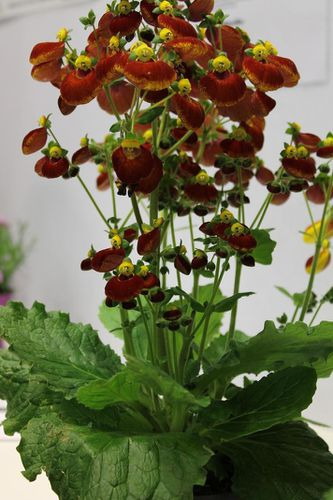 Calceolaria-x-Calynopsis-red.jpg