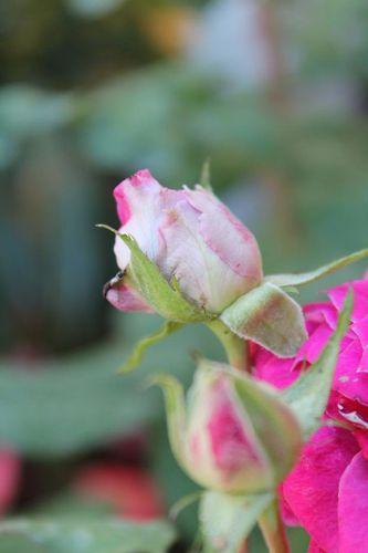 rose-yvelines-bateme.jpg
