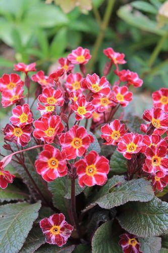 primula-vulgaris-dark-rozaleen-3.jpg