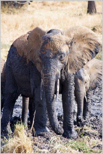 elephant dans la boue du tarangire