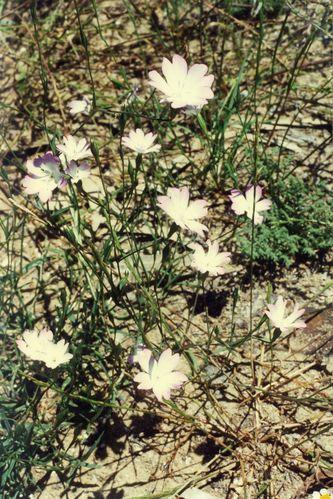 Silene coeli rosa (3)