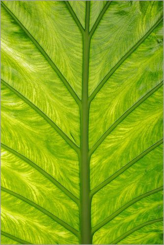 feuille-colocasia-transparence.jpg