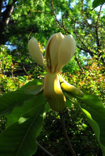 Magnolia-officinalis.jpg