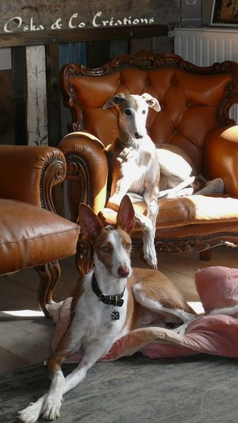 spanish-greyhound-and--podenco-ibizan-hound-Oka---Co-Creat.jpg