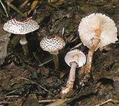 Lepiota-helveola.jpg