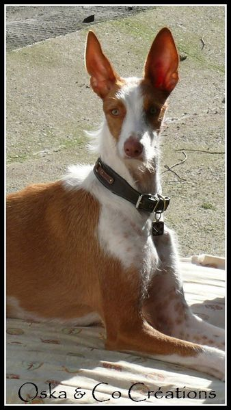 Dastan-podenco-barbudo-oska---co-creations.jpg