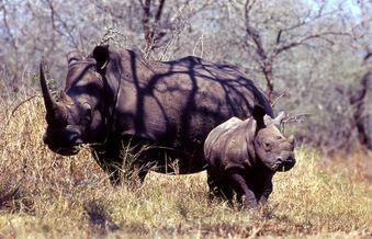 umfo rhino