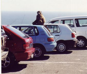 Cap - babouin sur voiture