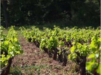 Vignes-durdilly.jpg
