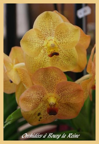 Orchidee-DSC02075--Medium-.JPG