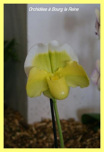 Orchidee-DSC02082--Medium-.JPG