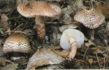 Lepiota-brunneoincarnata.jpg