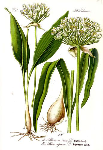 413px-Illustration Allium ursinum1