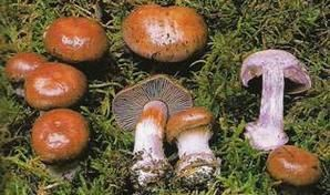 Cortinarius-parparascens.jpg