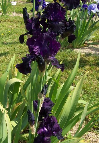 iris de brocèliande (18)
