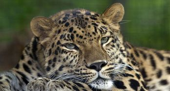 Leopard-amour-Pittsburgh_Zoo-pennsylvanie-wiki.jpg