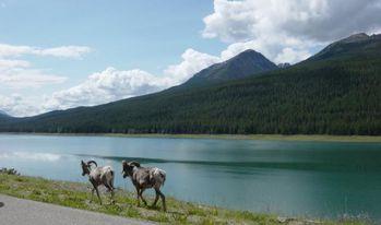 Jasper-nat-park-alberta-Bighorn-sheep-at_medicine-lake-Jami.jpg