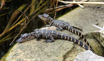 Alligator-mississippiensis-babies-ianare-sevi-copie-1.jpg